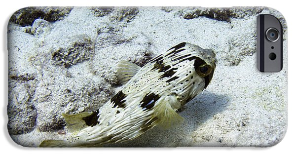 Porcupine Fish iPhone Cases - Porcupine fish undisturbed iPhone Case by Aston Pershing