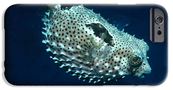 Porcupine Fish iPhone Cases - Porcupinefish Deflating iPhone Case by Gregory G. Dimijian, M.D.