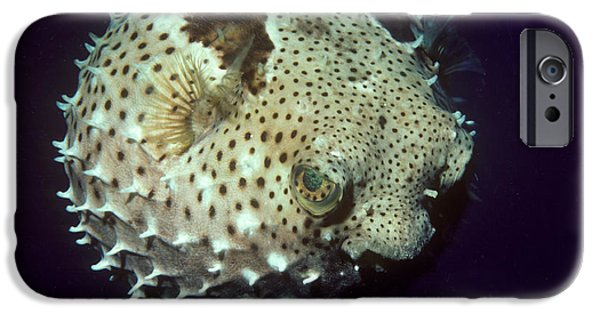 Aquatic Display iPhone Cases - Porcupinefish iPhone Case by Gregory G. Dimijian