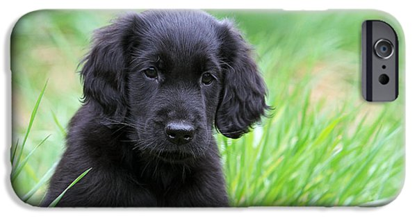 Dog Photos iPhone Cases - Portrait Black Flat Coated Retriever puppy iPhone Case by Dog Photos