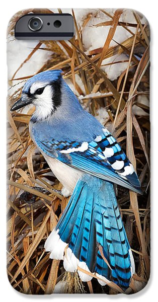 Bluejay iPhone Cases - Portrait of a Blue Jay iPhone Case by Bill  Wakeley