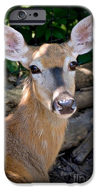 Portrait of a Deer iPhone Case by Amy Cicconi