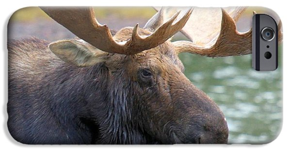 Moose In Water iPhone Cases - Portrait Of A Glacier Moose iPhone Case by Adam Jewell