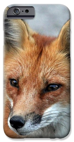 Dogs iPhone Cases - Red Fox Portrait iPhone Case by Debbie Oppermann