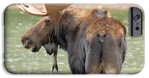 Moose In Water iPhone Cases - Posing In Fishercap iPhone Case by Adam Jewell