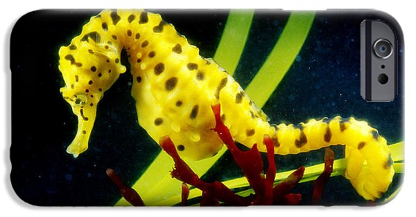 Fish Photographs iPhone Cases - Potbellied Seahorse From Australia iPhone Case by Gregory G. Dimijian, M.D.