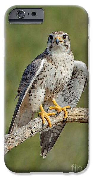 Birds iPhone Cases - Praire Falcon On Dead Branch iPhone Case by Anthony Mercieca