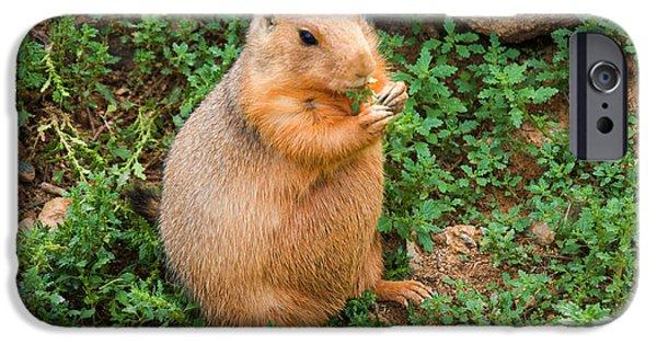 Prairie Dogs iPhone Cases - Prairie Dog eats vegetation iPhone Case by Chris Flees