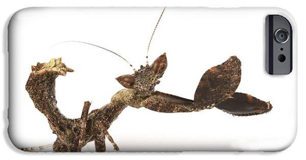 Mantodea iPhone Cases - Praying Mantis Gorongosa Mozambique iPhone Case by Piotr Naskrecki