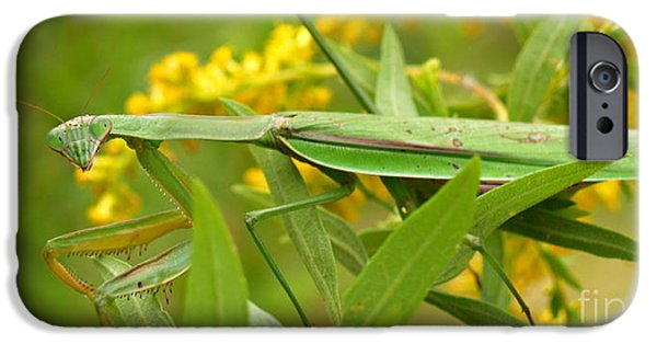 Mantodea iPhone Cases - Praying Mantis in September iPhone Case by Anna Lisa Yoder