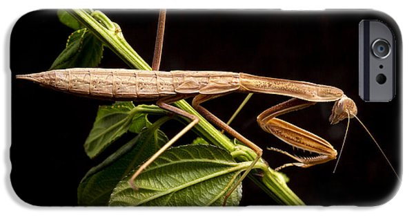 Mantises iPhone Cases - Praying Mantis  iPhone Case by Jean Noren