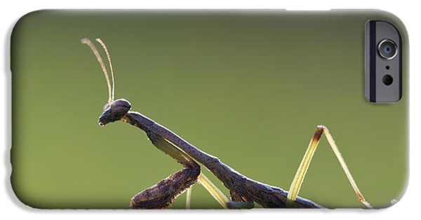Mantodea iPhone Cases - Praying Mantis Macro in the Sunlight iPhone Case by Brandon Alms