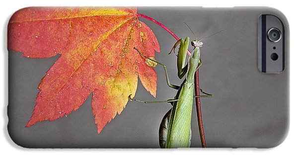 Fallen Leaf On Water iPhone Cases - Praying Mantis on a Maple Leaf iPhone Case by Buddy Mays