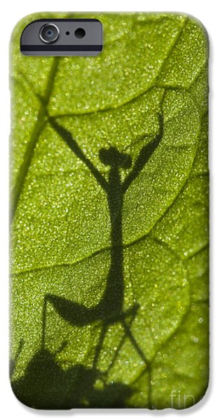 Mantodea iPhone Cases - Praying Mantis Victory Dance iPhone Case by Brandon Alms