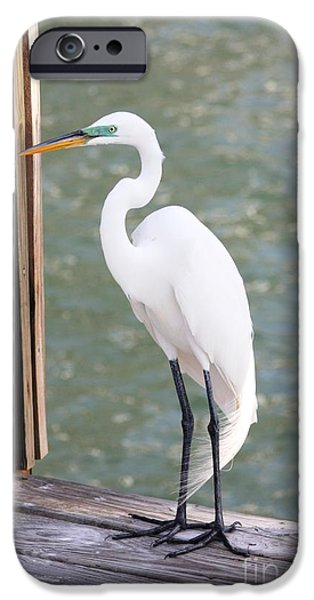Florida Wildlife iPhone Cases - Pretty Great Egret iPhone Case by Carol Groenen