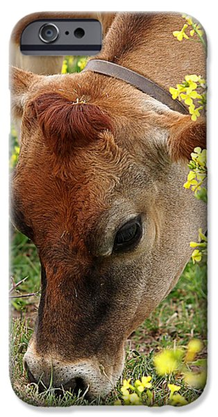 Soulful iPhone Cases - Pretty Jersey Cow Square iPhone Case by Gill Billington