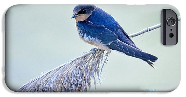 Barn Swallow iPhone Cases - Privacy Issues iPhone Case by Steve Chiarelli