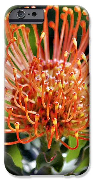 Protea - One of the Oldest Flowers on Earth iPhone Case by Christine Till