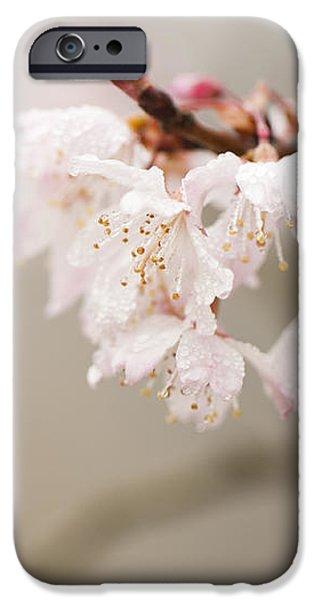 Prunus hirtipes iPhone Case by Anne Gilbert