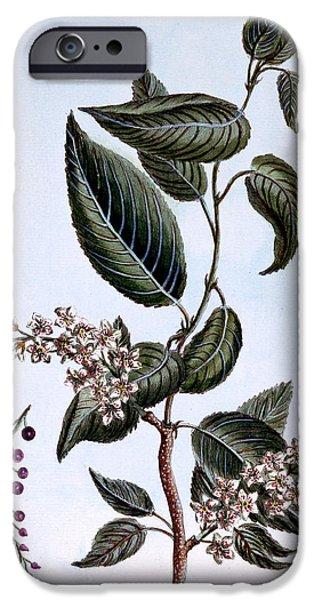Diagram Paintings iPhone Cases - Prunus padus or Bird Cherry iPhone Case by Pierre Joseph Buchoz
