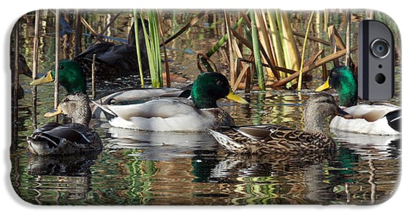Photos Of Birds iPhone Cases - Puddle Ducks iPhone Case by Skip Willits