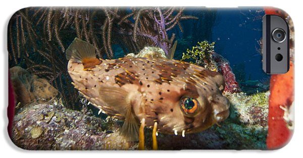Porcupine Fish iPhone Cases - Puffer Retreat iPhone Case by Jean Noren