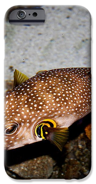 Pufferfish 5D24157 iPhone Case by Wingsdomain Art and Photography