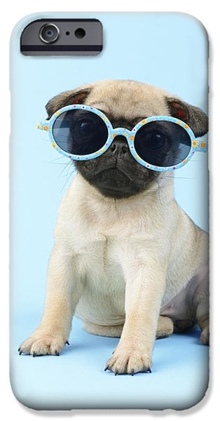 Pug Cool iPhone Case by Greg Cuddiford