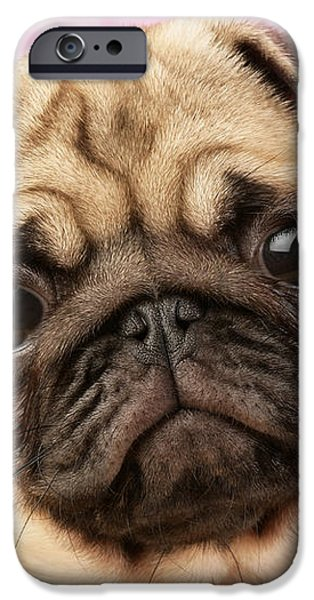 Pug Portrait iPhone Case by Greg Cuddiford