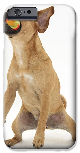 Dog Playing Ball iPhone Cases - Puggle Catching A Ball iPhone Case by Mark Taylor