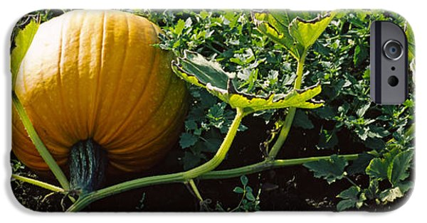 Half Moon Bay iPhone Cases - Pumpkin Growing In A Field, Half Moon iPhone Case by Panoramic Images
