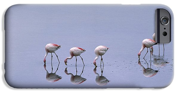 Birds iPhone Cases - Puna Flamingos Feeding Laguna Blanca iPhone Case by Pete Oxford