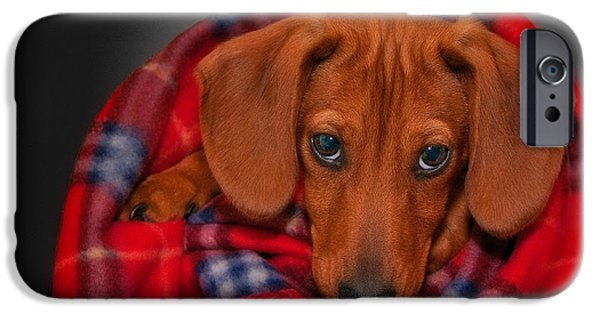 Mini Dachshund iPhone Cases - Puppy Love iPhone Case by Susan Candelario