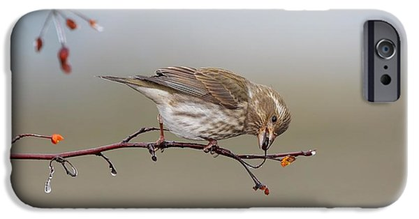 Berry Pyrography iPhone Cases - Purple Finch feeding iPhone Case by Daniel Behm