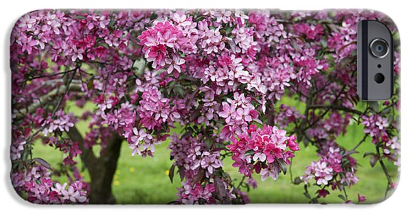 Fruit Tree iPhone Cases - Purple Leaved Crab Apple Tree Blossom iPhone Case by Tim Gainey