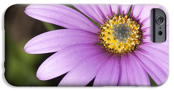 Purple Sensation iPhone Cases - Purple Osteospermum iPhone Case by Chay Bewley