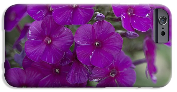 Phlox iPhone Cases - Purple Phlox iPhone Case by David Bearden