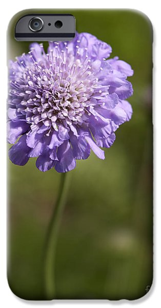 Close Up Floral iPhone Cases - Purple Scabious columbaria iPhone Case by Tony Cordoza