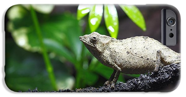 Chameleon iPhone Cases - Pygmy Chameleon iPhone Case by Brandon Alms