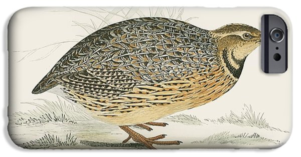Hunting Bird iPhone Cases - Quail iPhone Case by Beverley R. Morris