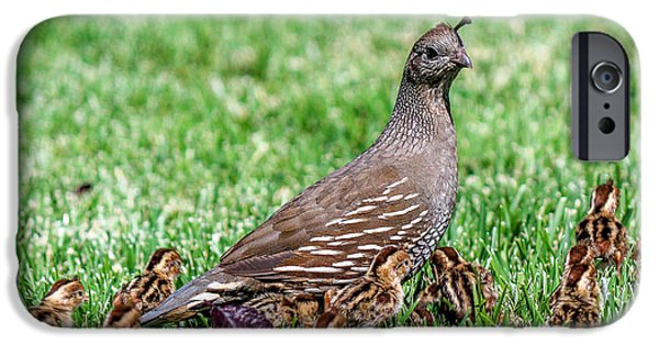 California Quail iPhone Cases - Quail Mom with Chicks iPhone Case by DJ Laughlin