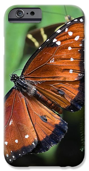 Nature Study iPhone Cases - Queen Butterfly iPhone Case by Adam Romanowicz