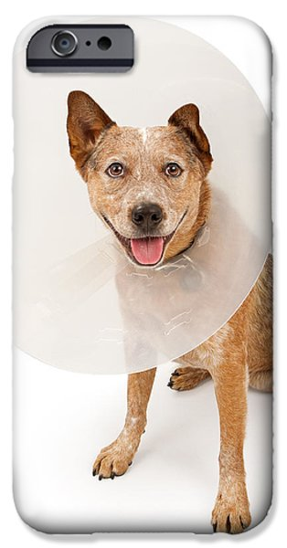 Cattle Dog iPhone Cases - Queensland Heeler Dog Wearing A Cone iPhone Case by Susan  Schmitz