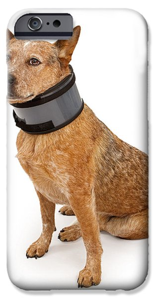 Cattle Dog iPhone Cases - Queensland Heeler Dog Wearing A Neck Brace iPhone Case by Susan  Schmitz
