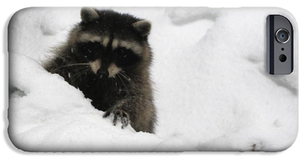 Four Animal Faces iPhone Cases - Raccoon Digs Snow iPhone Case by Kym Backland