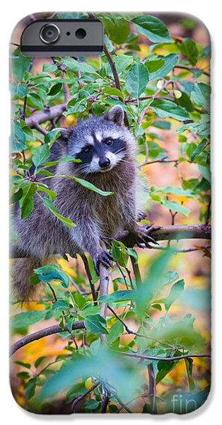 Spokane iPhone Cases - Raccoon iPhone Case by Inge Johnsson