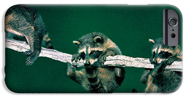 Cute Tree Images iPhone Cases - Raccoons Concept Alberta Canada iPhone Case by Panoramic Images