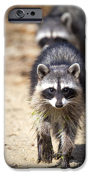 Best Sellers -  - Animals Photographs iPhone Cases - Raccoons iPhone Case by David Millenheft