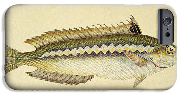Natural History iPhone Cases - Rainbow Wrasse iPhone Case by E Donovan and FC and J Rivington