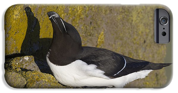 Razorbill iPhone Cases - Razorbill iPhone Case by John Shaw